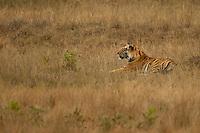 Tiger male (Panthera tigris tigris), resting, Bandhavgarh National Park, India, February 2013