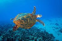 hawksbill sea turtle, Eretmochelys imbricata, Lanai, Hawaii, USA, Pacific Ocean