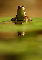 A bullfrog on lilies in Central New York.