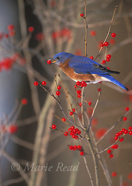 Eastern Bluebird )Sialia sialis) male feeding on winterberry (=Ilex) fruits in winter, New York, USA.    <br /> Slide # B136-185