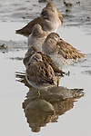 San Diego River, San Diego, California; Long-billed dowitcher (Limnodromus scolopaceus) birds rest at the edge of the San Diego River casting reflections in the water's surface, medium sized shorebirds with lengths to 10 inches, long straight bill and dull yellowish legs