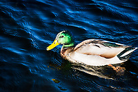A male Mallard paddling around in the pond at an urban park near San Francisco Bay.