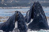 Humpback whales feeding at Point Lobos State Park