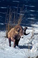 678508543 a wild bighorn sheep ram ovis canadensis walks through heavy snow along a rocky hillside feeding on tall dried grasses in yellowstone national park wyoming