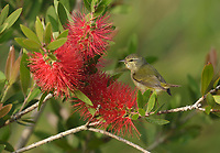 Tennessee Warbler (Vermivora peregrina), adult  feeding on blooming Lemon bottlebrush, crimson bottlebrush (Melaleuca citrina), South Padre Island, Texas, USA