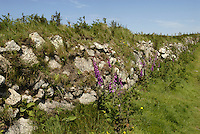 Foxglove - Digitalis purpurea and English Stonecrop - Sedum anglicum along a stone wall on Lundy, Devon