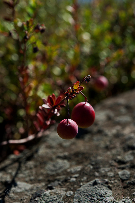 Wild cranberries thriving in a crack in the granite Canadian Sheild, Killarney Provincial Park, Ontario, Canada