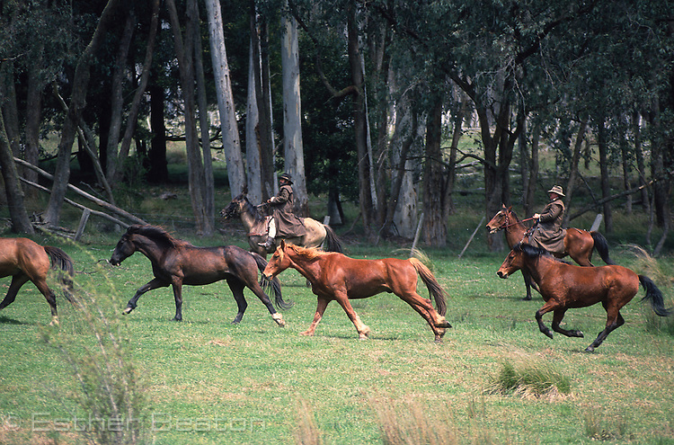 """Stockmen chasing horses across a """"high country"""" meadow. Mt Buller, Snowy Mountains, Victoria"""
