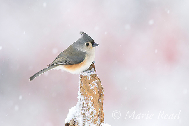 Tufted Titmouse (Baeolophus bicolor) during winter snowstorm, New York, USA