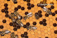 1B14-520z  Honeybee Hive with Worker tending larvae, open cells containing larvae, sealed worker cells, Apis Mellifera, Race Carniolans