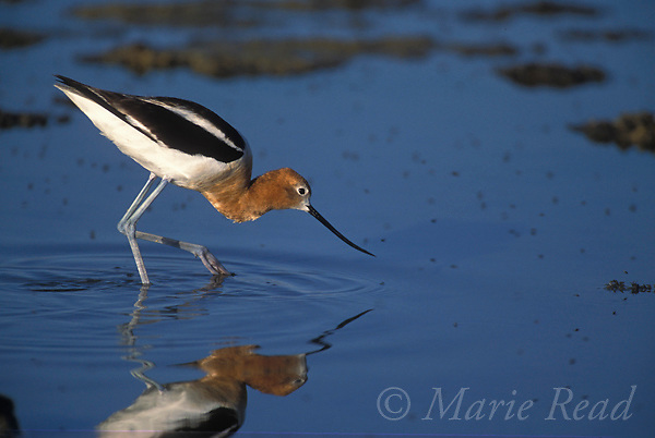 American Avocet (Recurvirostra americana) adult in breeding plumage, foraging, Mono Lake, California, USA<br /> Slide # B54-300