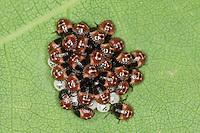 Grüne Stinkwanze, frisch geschlüpfte Larven, Nymphen, Larve, Nymphe, Jungtier auf der Blattunterseite einer Eiche, Palomena cf. prasina, Green Shieldbug, common green shield bug