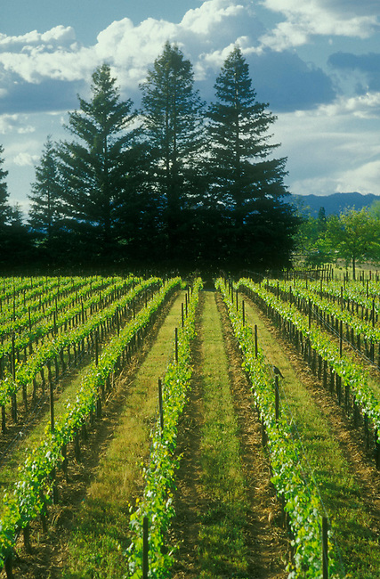 Vineyard near Oakville