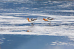 A pair of Avocets wading in a pond in the Lee Metcalf Wildlife Refuge in Montana's Bitterroot Valley