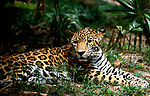 Jaguar, Panthera onca, captive, spotted fur, sitting in jungle, resting, Central America
