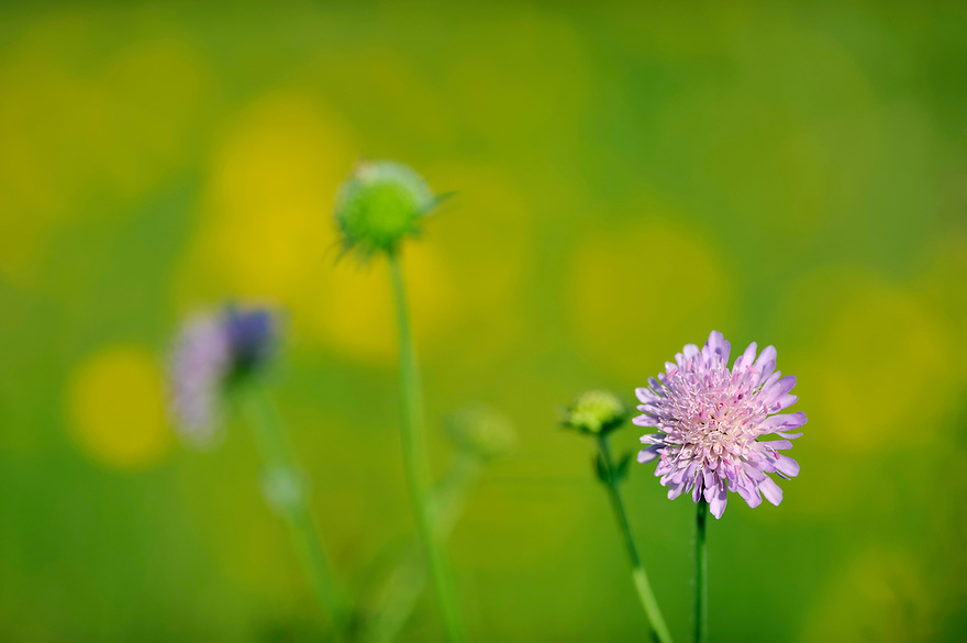 (Knautia arvensis), Field Scabious, Mullerthal trail, Mullerthal, Luxembourg