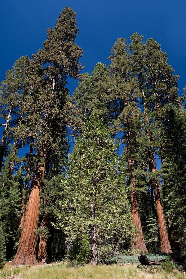 Giant Sequoia Trees (Sequoiadendron giganteum), Mariposa Grove, Yosemite National Park, CA