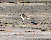 Male collared plover, rear view