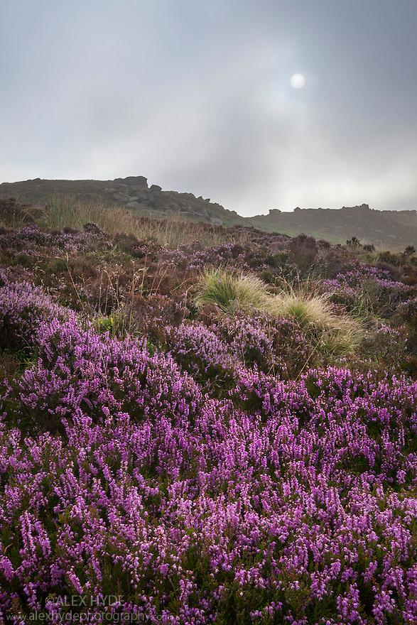 Common Heather / Ling {Calluna vulgaris} in bloom on Derwent Edge, Peak District National Park, Derbyshire, UK. September.