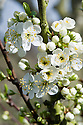 Spring blossom on 'Blue Rock' plum, late March.
