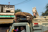 A owner brings his horse to sell his horse at Pushkar fair. Rajasthan, India.