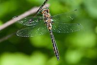 Uhler's Sundragon (Helocordulia uhleri) Dragonfly - Male, Doodletown Road, Bear Mountain State Park, Stony Point, Rockland County, New York
