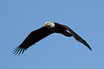 Bald eagle flying over Homer Spit, Alaska, near sunset