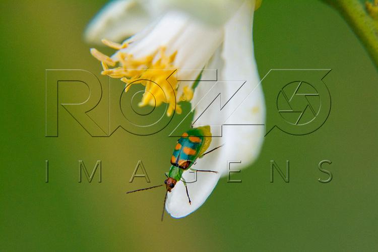 Besouro vaquinha (Paraulaca dives) polinizando em flor de limoeiro, Ibíuna - SP, 12/2016.