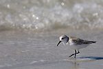 Sanibel Island, Florida; a Sanderling (Calidris alba) bird at the water's edge, foraging for food, Gulf of Mexico © Matthew Meier Photography, matthewmeierphoto.com All Rights Reserved