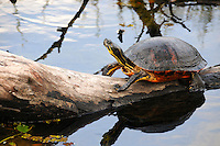 Red-Bellied Turtle climbing a partially sunken log at Green Cay Wetlands, Boynton Beach, Florida.