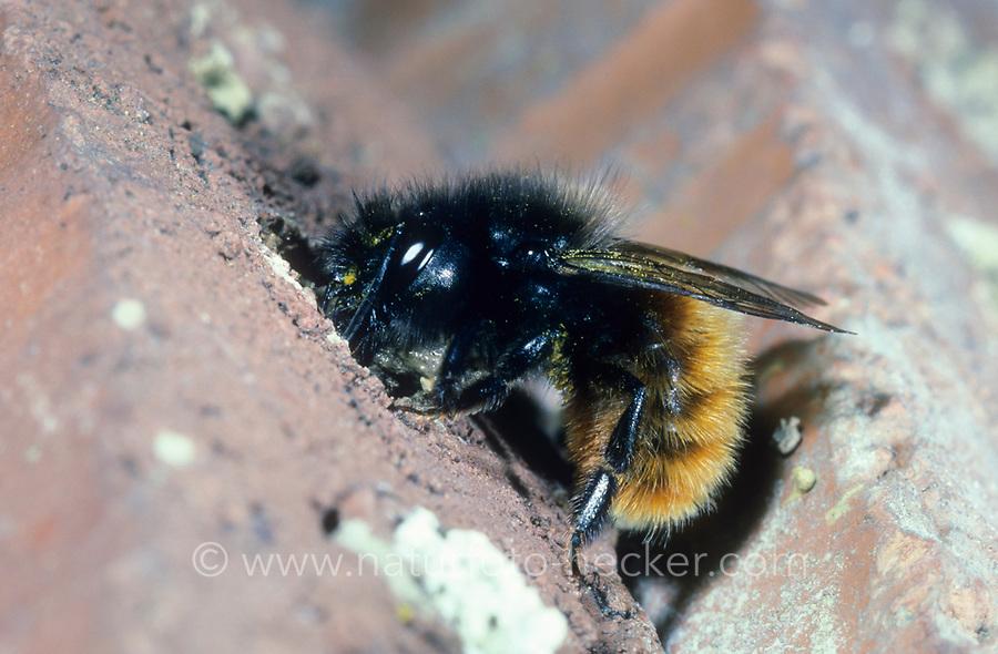 Gehörnte Mauerbiene, am Nest, Neströhre, Osmia cornuta, European orchard bee, hornfaced bee, Mason bee, mason bees