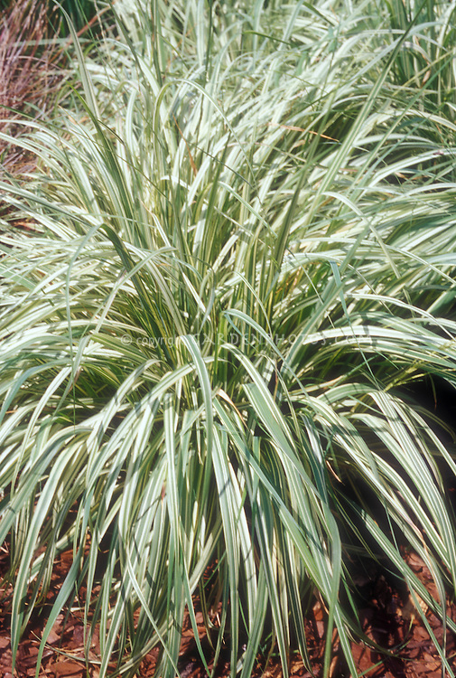 Short Ornamental Grass Ornamental grass stock photo images images plant flower stock molina caerulea variegata variegated moor grass a clumping neat ornamental workwithnaturefo