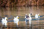 Four ducks in a row in El Centro, CA