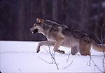 Running gray wolf