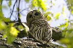 Adult barred owl (Strix varia), Washington Grove, Maryland
