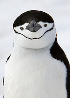 Chinstrap Penguin checks out the photographer at Cuverville, Antarctic , November 2007