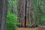 South grove of Calaveras Big Trees State Park