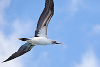 Blue-Footed Booby, Muleje, Baja Sur, Mexico