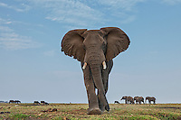 And the type of advance to be wary of when the female happens to be an elephant!<br /> <br /> Generally elephant bulls are very tolerant and allow close approach, as long as they are not in musth and as long as you respect them and don't piss them off that is, but females of a breeding herd are a totally different story and need to be treated with much more care. Our boat drifting close to the shore quite far from a herd already prompted this female to approach us head on to show how big she is and to warn us off. Staying humble and calm luckily kept her calm too.