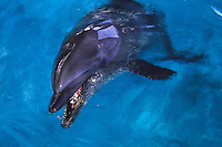 Dolphin at Sea Life Park, Oahu, Hawaii