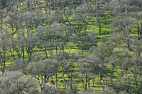 California buckeyes, Aesculus californica. Mount Diablo State Park, California