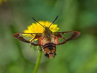 Hummingbird Clearwing Moth (Hemaris thysbe) nectaring on dandelion.  North America.  Summer.