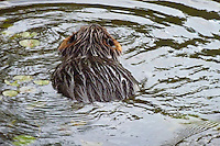 Beaver swimming in water lake pond animal mammal, water lilies, semi-aquatic herbivore rodent, genus Castor canadensis, North American native, seen from the back, wet fur
