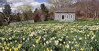 House w/ daffodils, Limerock, CT