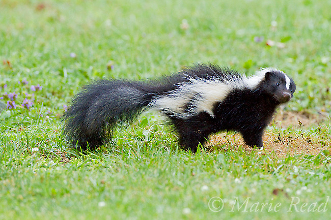 Striped Skunk (Mephitis mephitis) adult foraging on lawn in summer, New York, USA