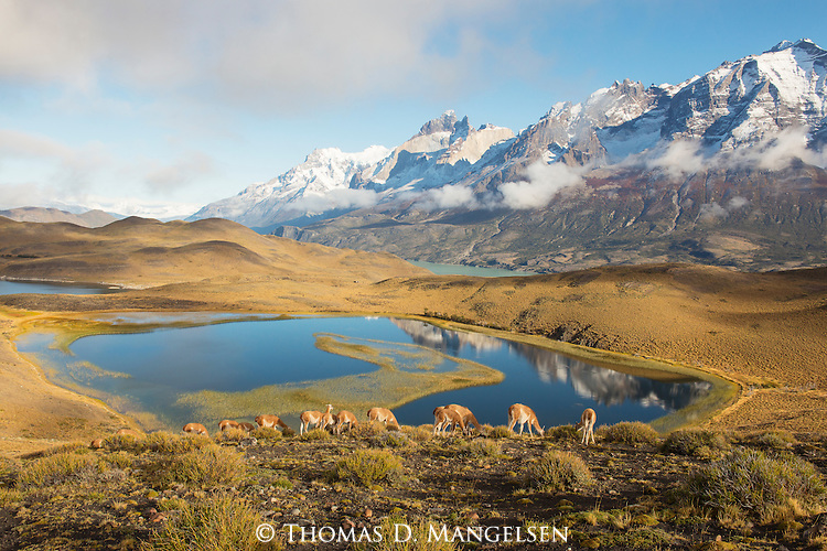 A herd of Guanacos graze on hillside in Patagonia, Chile.