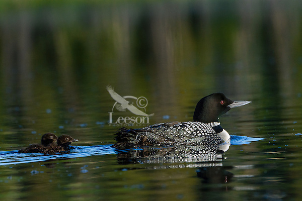 Common Loon (Gavia immer) with two young chicks.  Northern North America, Summer.  Sometimes also called Great Northern Loon or Diver.