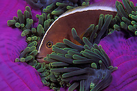 In a perfect example of symbiosis, a Western Skunk Anemonefish, Amphiprion akallopisos, snuggles among tentacles of its host, a Magnificent Sea Anemone, Heteractis magnifica. The fish is immune to the tentacles' sting which would kill most other fish, a situation that provides safe shelter for the Anemonefish. In return, the Anemonefish fiercely protects its host from any perceived threats. Similan Islands Marine National Park, Thailand, Andaman Sea