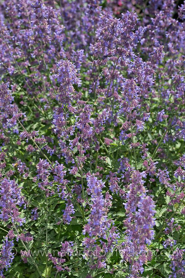 Blaue Katzenminze, Hybrid-Katzenminze, Bastard-Katzenminze, Blauminze, Nepeta × faassenii, Nepeta faassenii, catmint, Faassen's catnip, Chataire, Herbe aux chats