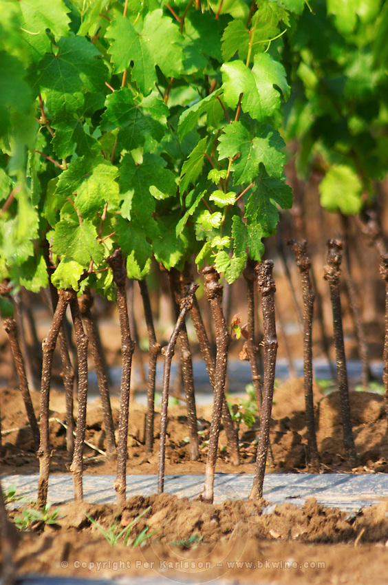 Young vines in a row closely planted. Fidal vine nursery and winery, Zejmen, Lezhe. Albania, Balkan, Europe.